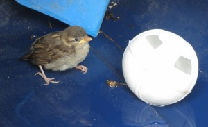 small bird in blue bin with whiffle ball