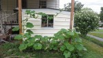 Hubbard Squash growing under our solar awning