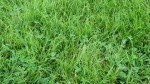 Grass with Clover