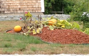 pumpkins growing on a mound of mulch