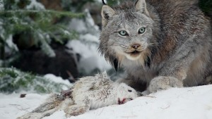 Canadian Lynx eating snow shoe rabbit