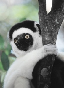 Sifaka on tree